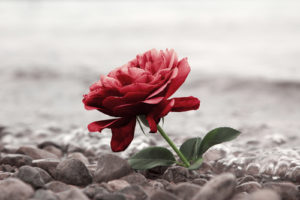 Rose on beach for funerals